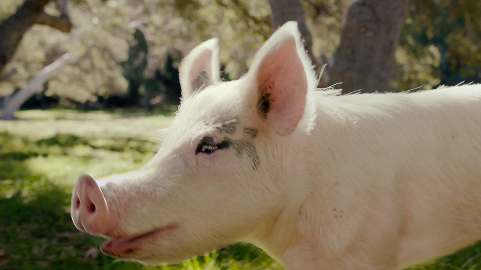 outdoor cow grass animal mammal pig white standing rabbit suidae domestic pig dog snout close staring